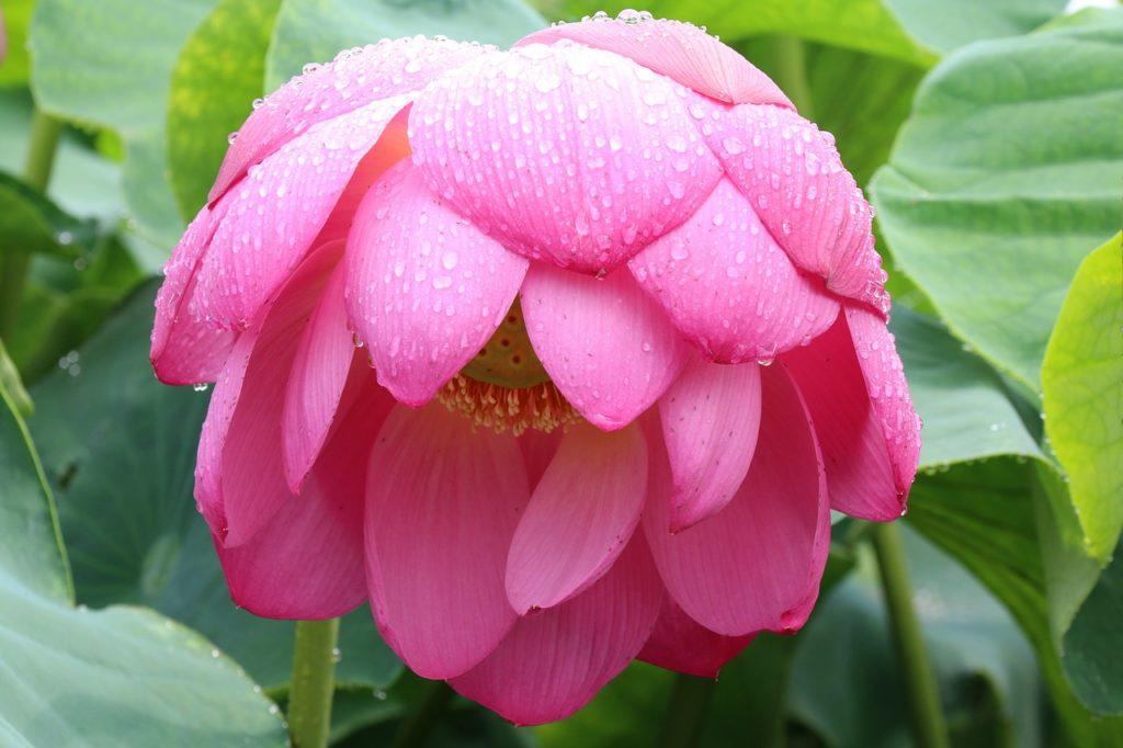 floare de lotus pentru ingrijirea pielii